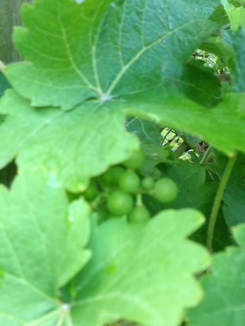 Grapes in hiding